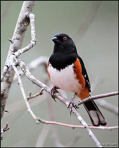 Three eastern Towhees were found in this year's Central Park Bird Count.  Pictured here is a male of the species, the females have dark brown coloring where the males have black.  They are commonly victimized by female Brown-headed Cowbirds, which invade Towhee nests and swap the eggs for their own.