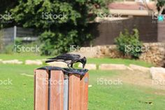 Crow stands on a Trash Can royalty-free stock photo