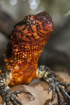 Chinese Crocodile Lizard (by Official San Diego Zoo)