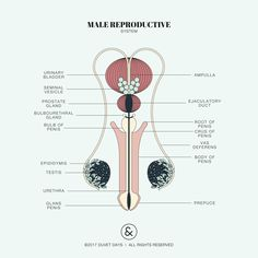 Male reproductive illustration. Please email hello@duvetdays.org for inquiries for digital purchases.