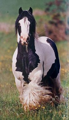 harness carriage draft horse Gyspy Vanner belgian cob shire hafflinger fjord…