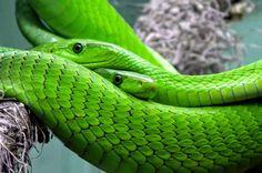 Snake green mamba toxic Last Updated on :Sunday, March 5, 2017