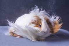 Photographic Print: A Guinea Pig's Hair is Blowing in the Wind. by EBPhoto : 24x16in