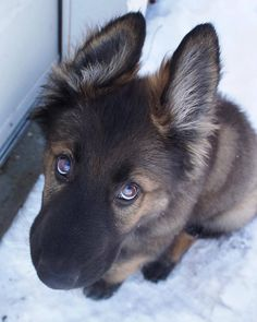 GSD Puppy-Dillinger