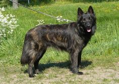 Dutch Shepherd or Hollandse Herder (long coat)