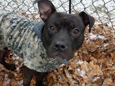 SUPER URGENT!!! TO BE DESTROYED - 01/23/14 Manhattan Center. My name is JASPER. My Animal ID # is A0989159. I am a male black and white pit bull mix. The shelter thinks I am about 2 YEARS. I came in the shelter as a STRAY on 01/09/2014 from NY 10453, owner surrender reason stated was STRAY.  https://www.facebook.com/photo.php?fbid=739743756038506&set=a.611290788883804.1073741851.152876678058553&type=3&theater