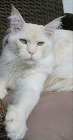 Maine Coon So Nice!!! #NorwegianForestCat