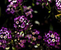 Purple Alyssum. Landscape flower