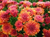 'Spicy Cheryl Orange' (Hardy Garden Mum)