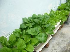 Hydroponic sawi ready to harvest. Home Hydroponics, Harvest, Aqua, Yard, Vegetables, Water, Patio, Yards, Veggie Food