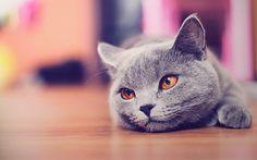 Cute cat wallpaper HD by AlexandruIuilian Grey Cat Wallpaper, Funny Cat Wallpaper, Eyes Wallpaper, Animal Wallpaper, Iphone Wallpaper, Gato Bobtail, Gatos British, American Bobtail Cat, Top Cats