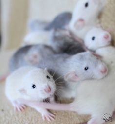 Baby Animals, Cute Animals, Dumbo Rat, Fancy Rat, Cute Rats, Hamster, Cute Mouse, Rodents, My Animal