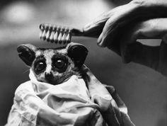 Piccolo di galagone - Wilfred, un piccolo di galagone, viene pettinato con uno spazzolino da un operatore dello zoo di Londra, dove vive. La foto è stata scattata l'8 settembre del 1939.  I galagoni sono primati notturni africani di piccole dimensioni. In inglese sono comunemente noti com bush babies, cioè bambini del bosco, mentre in afrikaans – la lingua parlata in Sudafrica e Namibia, dove i galagoni sono molto diffusi – sono chiamati nagapies, scimmiette notturne.