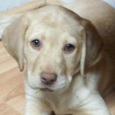 Shyanne is an adoptable Labrador Retriever Dog in Roswell, GA. Shyanne is a purebred Yellow (Dudley) Lab (with AKC papers) pup born at the beginning of December. Details to come......
