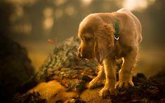 Télécharger fonds d'écran Cocker, 4k, les animaux de compagnie, chiens, épagneul marron, mignon, animaux, Chien Cocker