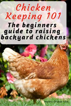 Chicken keeping for beginners. Everything you need to know to raise chickens, from chick to egg. How to choose a coop, what to feed chickens and more! What To Feed Chickens, Raising Backyard Chickens, Urban Chickens, Keeping Chickens, Pet Chickens, Backyard Farming, Chicken Coup, Chicken Coop Plans, Chicken Feed
