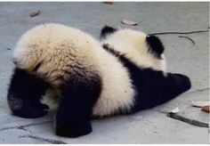 Little panda bump. Little panda bump. Baby Animal Videos, Cat And Dog Videos, Baby Animals Pictures, Funny Animal Pictures, Cute Baby Animals, Funny Animals, Funniest Animals, Wild Animals, Photo Panda