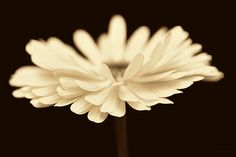 Sepia brown and cream daisy flower photography art for your home or office decor.    #sepia  #brown #daisy