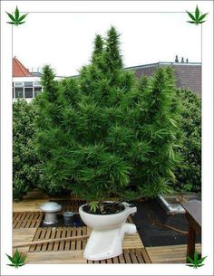 Weed growing