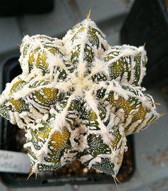 astrophytum híbrido