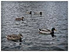 Ducks, Bird, Photography, Animals, Photograph, Animales, Animaux, Birds, Fotografie