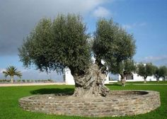 How to Grow an Olive Tree From a Seed.