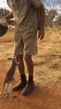 It's Kangaroo Dundee, Mr. Brolga, with one of his rescued joeys that he has taught to jump into a homemade pouch! Adorable!