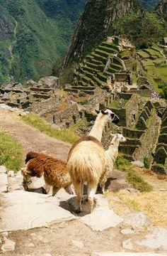 Llamas at Machu Pichu