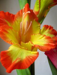 Orange Arancio Oranje オレンジ Colour Texture Style Form Iris Tropical by IvetteKay Iris Flowers, All Flowers, Exotic Flowers, Tropical Flowers, Amazing Flowers, Colorful Flowers, Planting Flowers, Beautiful Flowers, Tropical Colors