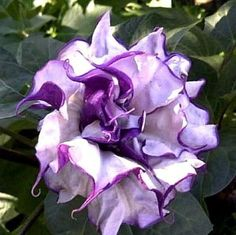 Daturas are fat desert plants with furry leaves, deep purple stems, and ruffled white and lilac blooms. The fragrant blossoms open at night and are gorgeous in the moonlight. Plants grow quickly from