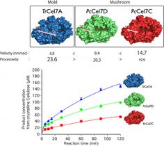(Top) The values of tenacity (processivity) and speed (velocity of reaction) of single molecules of long-tunneled ascomycete (mold) cellulase (TrCel7A) and short-tunneled basidiomycete (mushroom) cellulase (PcCel7C and PcCel7D) on a crystalline cellulose surface were compared. (Bottom) Biochemical comparison showed that the enzyme which has higher processivity is more effective at degrading crystalline cellulose. © Masahiro Samejima and Kiyohiko Igarashi. #UTokyoResearch