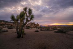 This is a sunrise in Joshua Tree I did a portrait of this tree and I love the way the clouds looked that day it was great to be on the spot to be able to capture every moments.  #photoserge #tree #joshuatree #sunrise #desert #clouds #sky #morning #travel