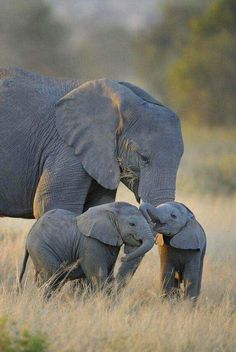 African elephant mother with age-mate twins? cousins? More