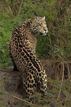 Where to see big cats in the wild-Telegraph Nature Animals, Animals And Pets, Baby Animals, Cute Animals, Beautiful Cats, Animals Beautiful, Animal Espiritual, Jaguar Leopard, Gato Grande