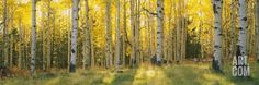 Aspen Trees in Coconino National Forest, Arizona, USA, by  Panoramic Images