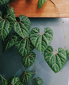 Indoor plant ideas - Aristolochia leuconeura Aristolochia are a genus of climbing plants we don't often come across Indoor Cactus Plants, Rare Plants, Exotic Plants, Tropical Plants, Trees To Plant, Plant Leaves, Room Deco, Plants Are Friends, Foliage Plants