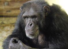 Unsere Schimpansengruppe | Zoo Heidelberg