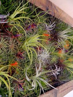 air plants wall garden: I have wanted a succulent vertical garden for a long time but maybe this can substitute for the time being Succulents Garden, Garden Plants, Indoor Plants, Hanging Air Plants, Outdoor Gardens, Indoor Outdoor, Vertikal Garden, Jardin Decor, Air Plant Display