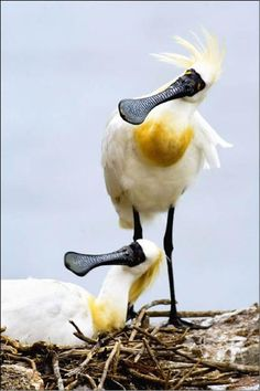 black-faced spoonbill. Is this a distant cousin of the knife-oyster and the forked-tongue?