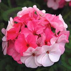 """This geranium is perfectly named, for """"inspire"""" is just what its bouquets of pastel pink and blush do to your mood. A super-quick variety with gorgeous zoned foliage as well as those amazing blooms, it's the one geranium you simply MUST try this season!Giant 4- to 5-inch bloom clusters begin appearing just 80 days or so after you sow the seed of this super-easy pelargonium. The flowers are soft-hued, but they make a huge impact, especially above the large, chocolate-zoned green leaves. What…"""