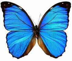 Beautiful butterfly pictures, Animated butterfly pictures, Butterfly pictures to color,butterfly pictures for kids,animated butterfly pictur. Blue Butterfly Tattoo, Morpho Butterfly, Butterfly Drawing, Butterfly Painting, Butterfly Wallpaper, Butterfly Wings, Butterfly Pictures To Color, Beautiful Butterfly Pictures, Butterfly Images