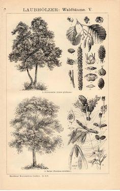 1908 Botanical Antique Print, Botany, European Trees, Black Alder, Alnus, Ash, Fraxinus, Rowan, Sorbus, Willow, Salix alba, Gardening, Plant...