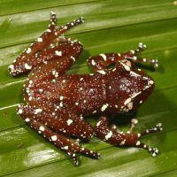 """Résultat de recherche d'images pour """"Cinnamon Tree Frog"""""""