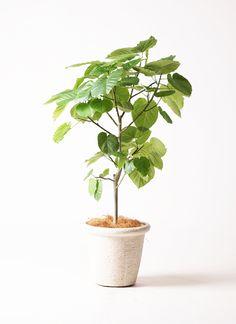観葉植物 フィカス ウンベラータ 8号 ビアスリムス 白 付き