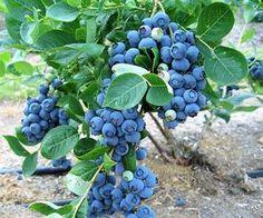 Nome científico: Vaccinium myrtillus Nativos da Eurásia, o mirtilo é utilizado pelo Homem desde o século XVI, principalmente devido às suas propriedades antioxidantes e antibacterianas. Esta pequena baga está no topo dos alimentos com maior teor de antioxidantes e é rica em fibra, vitaminas A, B e C e sais minerais (Mg, Ca, P, Fe, Z, Se, Mn, L). Arbusto de pequeno porte que aprecia temperaturas amenas, apresenta delicado fruto pequeno que quando maduro adquire a coloração azul arroxeada…