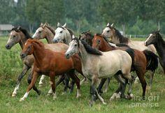 Arabian Horses Photograph  - Arabian Horses Fine Art Print
