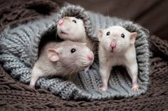Cute Rats, Cute Hamsters, Animals And Pets, Funny Animals, Cute Animals, Beautiful Dogs, Animals Beautiful, Fancy Rat, Character Design Animation