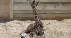 At more than 6-feet tall, this is one of the tallest babies the zoo has ever greeted.