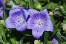 """Платикодон крупноцветковой. Также известен как цветок """"воздушный шар"""". Произрастает в восточной Азии и иногда используется как ингредиент в приготовлении салатов"""