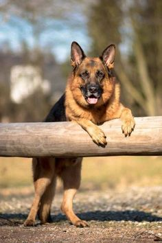 """""""Now THIS is a stick! How about lending me a paw over here?!"""" #germanshepherd"""